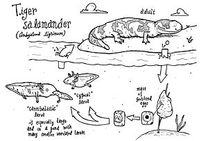 Tiger salamander - Life cycle