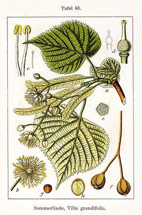 Tilleul grandes feuilles wikip dia - Tilleul a grandes feuilles ...