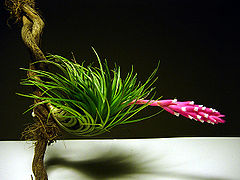 Tillandsia tenuifolia 2.jpg