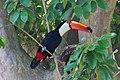 Toco toucan in Iguaçu National Park.jpg
