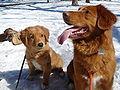 Toller Pup & Sire.JPG