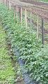 Tomato support (5843173595).jpg