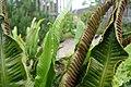 Tongvaren (Asplenium scolpendrium L., Scolopendria) Hortus Botanicus Leiden (NL).jpg