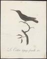 Topaza pella - 1802 - Print - Iconographia Zoologica - Special Collections University of Amsterdam - UBA01 IZ19100237.tif
