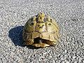 Tortoises in Krushevska Reka valley - P1100144.JPG