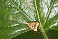 Tortricidae (30127480718).jpg