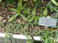 E. guatemalensis