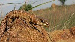 Transvaal Girdled Lizard, Klipriviersberg, Johannesburg, South Africa.JPG