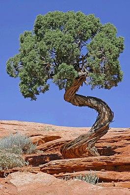 Tree Canyonlands National Park edit2.jpg