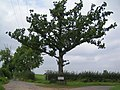 Tree and plaque - geograph.org.uk - 957453.jpg