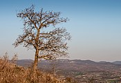 Treviño - Cerro de Treviño - Quercus faginea 01.jpg