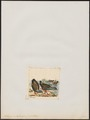 Tribonyx ventralis - 1820-1863 - Print - Iconographia Zoologica - Special Collections University of Amsterdam - UBA01 IZ17500187.tif