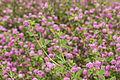 Trifolium resupinatum L..JPG