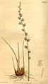 Triglochin bulbosa CBM.png