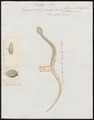 Trigonocephalus viridis - 1700-1880 - Print - Iconographia Zoologica - Special Collections University of Amsterdam - UBA01 IZ11700079.tif