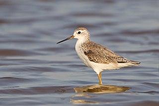 Marsh sandpiper species of bird