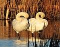 Trumpeter Swan Pair Seedskadee NWR (16656620332).jpg