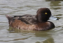 Tufted-Duck-female.jpg