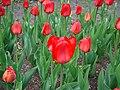 Tulip Festival in assiniboine park winnipeg manitoba canada 1.JPG