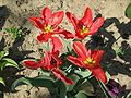 Tulipa gesneriana 4.jpg