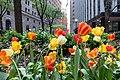 Tulips (45672726262).jpg