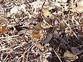 Turdus iliacus in Baikonur.jpg