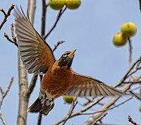 Turdus migratorius in flight Toronto.jpg
