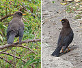 Turdus nigrescens, the Sooty Thrush or Robin. (8987849792).jpg