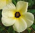 Turnera subulata (sulphur alder).jpg