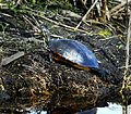 Turtle at LWNWR - Flickr - Andrea Westmoreland.jpg