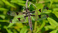 Twelve-spotted Skimmer (Libellula pulchella), Female - London, Ontario.jpg