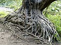 Twisted Tree Roots in Blarney Castle Grounds - geograph.org.uk - 596637.jpg