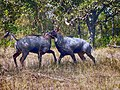 Two adult nilgai bulls fighting in Rajaji Tiger Reserve AJTJ.jpg
