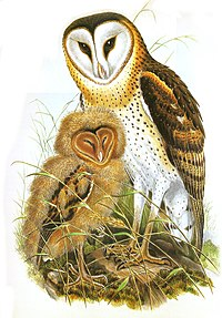 Tyto longimembris from Gould, Birds of Asia
