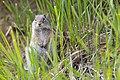 Uinta ground squirrel (14952252050).jpg