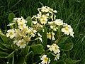 Umbelled primroses, Bolventor - geograph.org.uk - 794065.jpg
