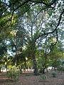 Una alzina als jardins de Can Sentmenat P1510546.jpg