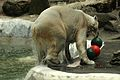 Ursus maritimus at the Bronx Zoo 013.jpg