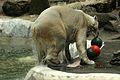 Ursus maritimus at the Bronx Zoo 013.jpg