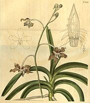 Vanda tessellata (as Vanda roxburghii) - Curtis' 48 pl. 2245 (1821).jpg