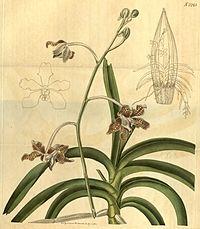 Vanda tessellata (as Vanda roxburghii) - Curtis' 48 pl. 2245 (1821)