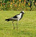 Vanellus armatus, Jan Celliers Park.jpg