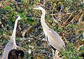 Vedanthangal Bird Sanctuary 07.JPG