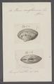 Venus rariflamma - - Print - Iconographia Zoologica - Special Collections University of Amsterdam - UBAINV0274 077 12 0043.tif