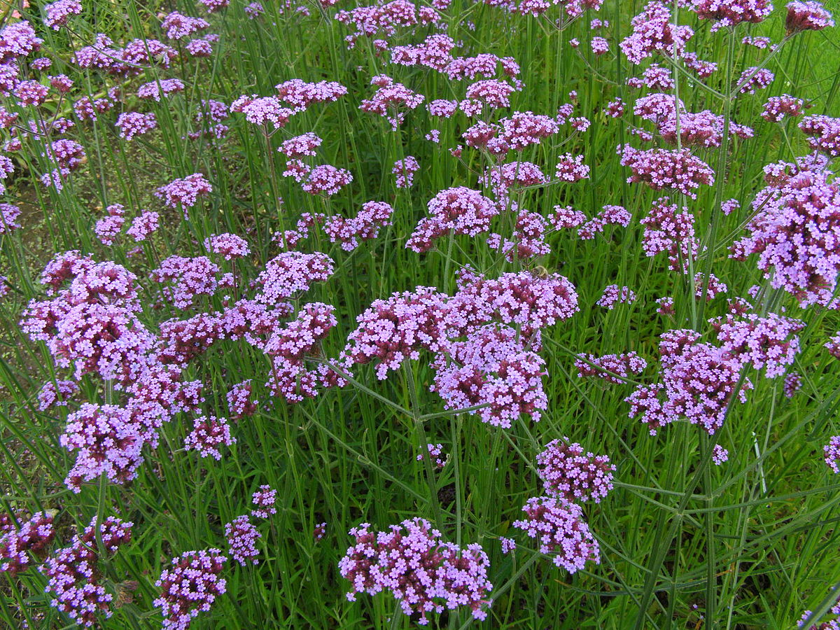 Verbena bonariensis wikipedia for Verbena pianta