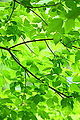 Verde Green Leaves and Branches (4685984443).jpg
