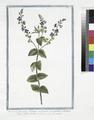 Veronica flosculis oblongis pediculis insidentibus, Chamoedryos folio alterno - Veronique. (Germander Speedwell) (NYPL b14444147-1125079).tiff