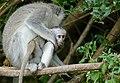 Vervet Monkeys (Chlorocebus pygerythrus) female with young ... (47246312132).jpg