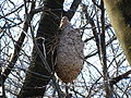 Vespa simillima Nest HungOnCherryTree01 SideView.JPG