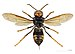 Vespa velutina nigrithorax MHNT ventre.jpg